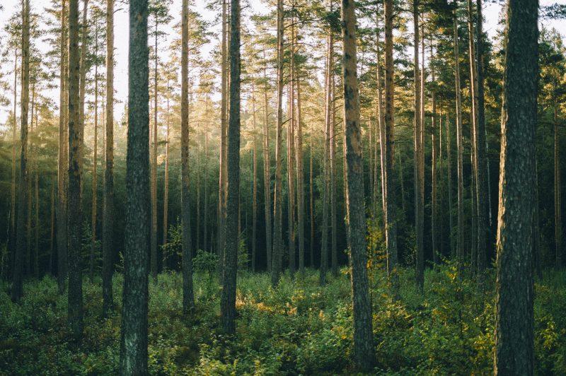 Pinewood Forest In Sunrise, Sognsvann, Oslo